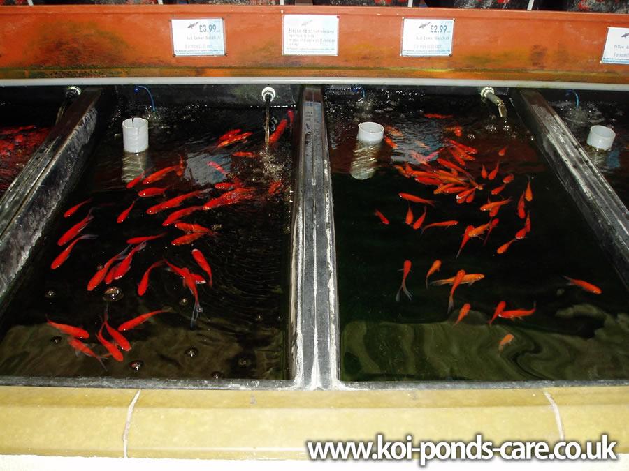 Koi Pond Info