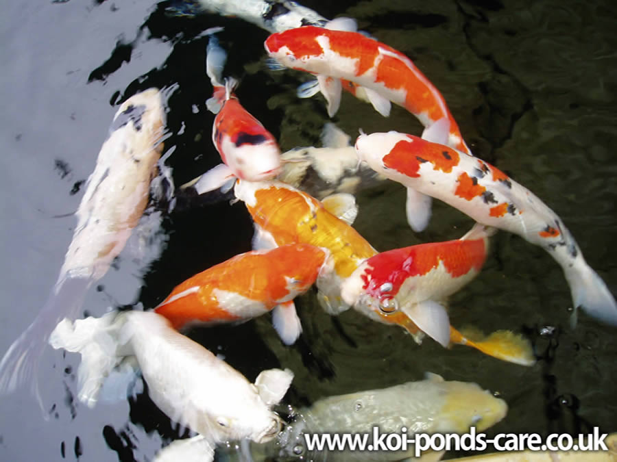 Koi pond beginners guide for Mini carpe koi