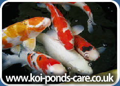 Types-of-Koi